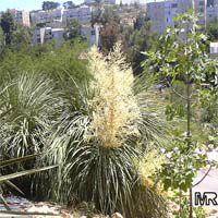 Nolina longifolia, Dasylirion longifolium, Beaucarnea longifolia, Mexican Grass Tree   Click to see full-size image