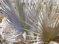 Brahea armata, Erythea armata, Erythea glauca, Erythea roezlii, Blu Fan Palm, Blue Hesper Palm  Click to see full-size image