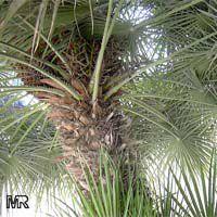 Chamaerops humilis, Dwarf Fan Palm, European Fan Palm  Click to see full-size image