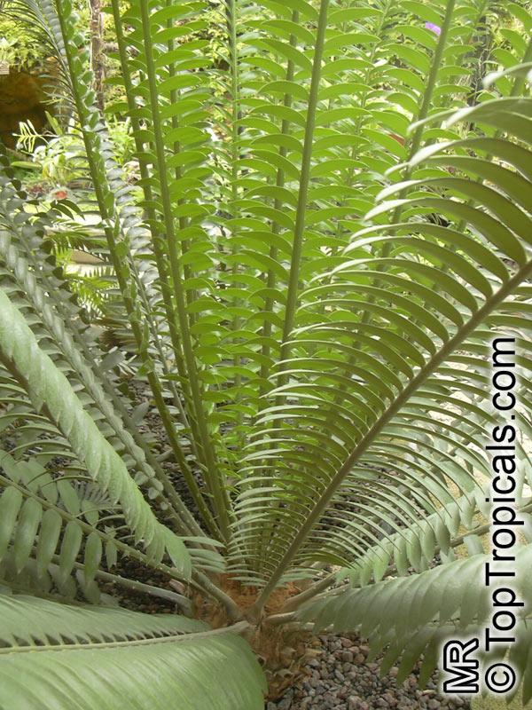 Cycas Circinalis Cycas Undulata Cycas Wallichii Queen