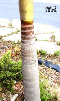 Dictyosperma album, Hurricane Palm, Princess Palm  Click to see full-size image