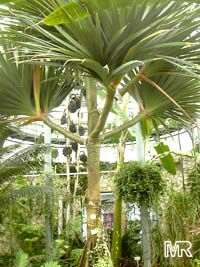 Pandanus utilis, Screw Pine