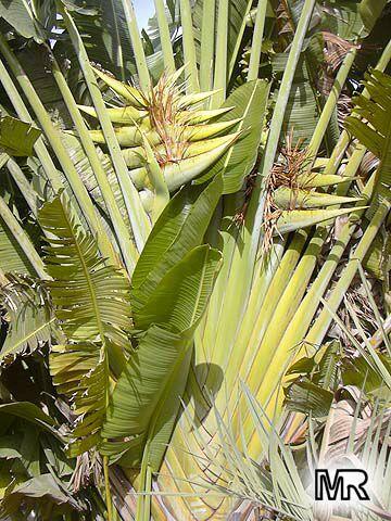 Ravenala Madagascariensis Travelers Palm Toptropicals Com
