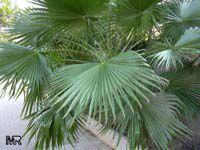 Washingtonia filifera, California Fan Palm, Desert Fan Palm, American Cotton Palm, Cotton PalmClick to see full-size image