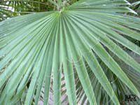 Washingtonia filifera, California Fan Palm, Desert Fan Palm, American Cotton Palm, Cotton Palm  Click to see full-size image