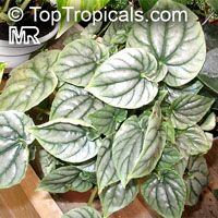 Peperomia griseoargentea, Radiator Plant, Platinum Pepper, Ivy-Leaf Peperomia  Click to see full-size image