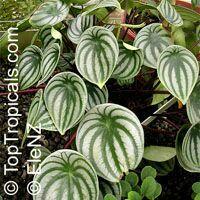Peperomia argyreia, Peperomia sandersii, Watermelon Peperomia  Click to see full-size image