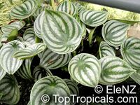 Peperomia argyreia, Peperomia sandersii, Watermelon Peperomia  Click to see full-size image