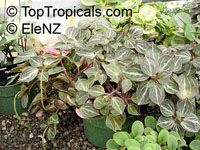 Peperomia bicolor, Peperomia  Click to see full-size image