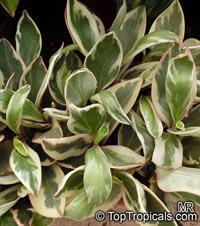 Peperomia clusiifolia, Peperomia obtusifolia var. clusiaefolia, Red Edge Peperomia  Click to see full-size image