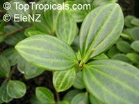 Peperomia dahlstedtii, Peperomia fosteri, Vining Pepper  Click to see full-size image