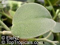 Peperomia incana, Felted Peperomia  Click to see full-size image