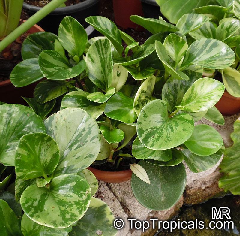 Peperomia Obtusifolia Baby Rubber Plant Toptropicals Com