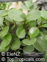 Peperomia obtusifolia, Baby Rubber Plant  Click to see full-size image