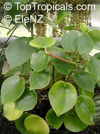 Peperomia polybotrya, Coin Leaf Peperomia  Click to see full-size image