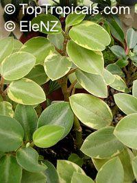 Peperomia orba, Pixie Peperomia  Click to see full-size image