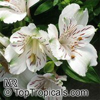 Alstroemeria sp., Peruvian Lily  Click to see full-size image