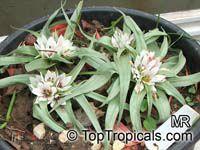 Androcymbium palaestinum, Erythrostictis palaestina , Desert Bulb  Click to see full-size image