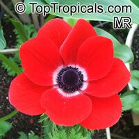 Anemone sp., Windflower