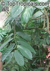 Aristolochia arborea , Aristolochia Tree