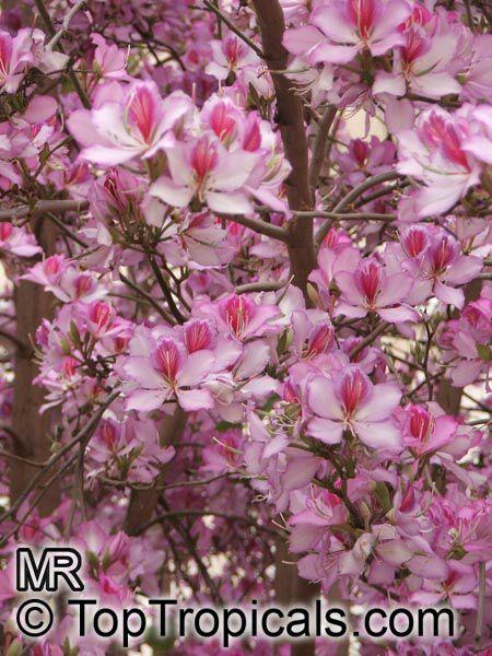Bauhinia Variegata Phanera Variegata Orchid Tree Purple
