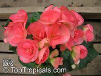 Begonia x hiemalis, Begonia Elatior, Elatior Begonia  Click to see full-size image