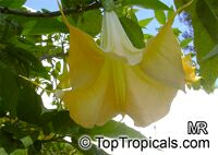 Brugmansia sp., Angels Trumpet  Click to see full-size image