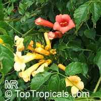 Campsis radicans, Scarlet Trumpet Vine, Red Bignonia, Blood Trumpet, Dynamic Trumpet VineClick to see full-size image