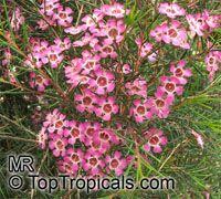 Chamelaucium uncinatum, Darwinia uncinata, Geraldton Waxflower  Click to see full-size image