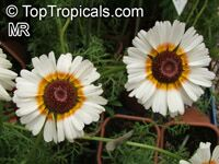 Chrysanthemum carinatum, Chrysanthemum tricolor, Painted Daisy, Tricolor Daisy   Click to see full-size image