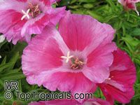 Clarkia amoena, Godetia amoena, Farewell-to-Spring, Godetia, Atlasflower  Click to see full-size image