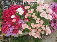 Clarkia amoena, Godetia amoena, Farewell-to-Spring, Godetia, AtlasflowerClick to see full-size image