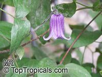 Clematis sp., Clematis, Old Man's Beard, Traveler's Joy, Virgin's Bower