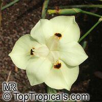 Dietes bicolor, Moraea bicolor, Evergreen Iris, Spanish Iris, African Iris  Click to see full-size image