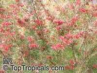 Grevillea sp., GrevilleaClick to see full-size image