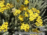 Helichrysum sp., Strawflower, Immortelle, Helichrysum