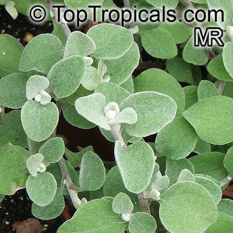 Helichrysum sp., Strawflower, Immortelle, Helichrysum - TopTropicals ...