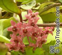 Hoya sp., Wax Flower