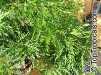 Lomatia tinctoria , Guitar Plant  Click to see full-size image