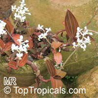 Haemaria discolor, Ludisia discolor, Anoectochilus dawsonianus, Myoda rufescens, Jeweled Ludisia, Jewel Orchid, Goodyera