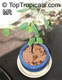 Moringa sp., Moringa  Click to see full-size image