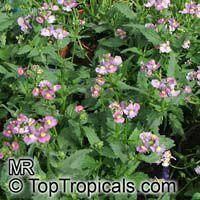 Nemesia fruticans, Nemesia caerulea, Mauve Nemesia, Wildeleeubekkie  Click to see full-size image