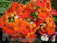 Nemesia strumosa, Nemesia  Click to see full-size image