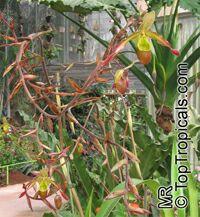 Phragmipedium sp., Phragmipedium  Click to see full-size image