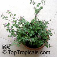 Pelargonium Deerwood Lavender Lass , Lavender PelargoniaClick to see full-size image