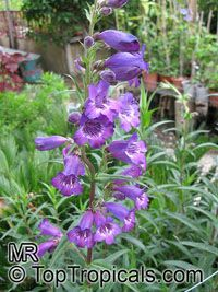 Penstemon sp., Beard-tongue  Click to see full-size image
