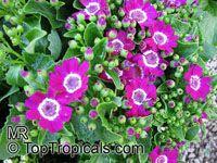 Pericallis x hybrida, Senecio cruentus, Senecio x hybrida, Florist's CinerariaClick to see full-size image