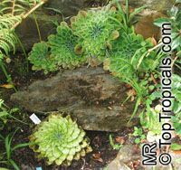 Petrocosmea sp., Petrocosmea  Click to see full-size image
