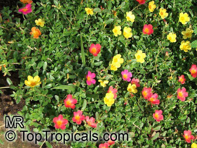 Rose Bush For Sale