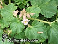 Proboscidea louisianica, Martynia louisiana, Martynia proboscidea, Devil's Claw, Unicorn Plant, Ram's HornClick to see full-size image